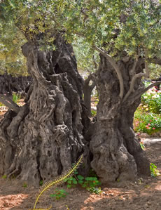 Gethsemane | meaning for Christians | Jesus prayed at Gethsemane
